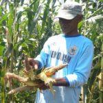Populasi Hama Tupai Meningkat,Petani Jagung dan Coklat Alami Penurunan Hasil Panen