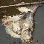 Air Batang Maek Tercemar, Ribuan Ikan Mati